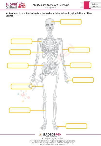 6. Sınıf Kemik Çeşitleri Çalışma Kağıdı